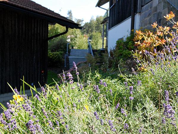 Blühender Lavendel am Haus Lichteck in Breitenberg im Bayerischen Wald.