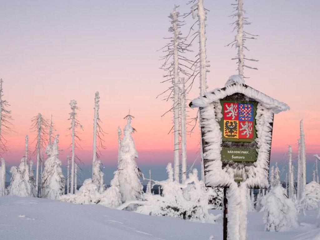 Weiß-verfrorene Tannen im Böhmerwald.